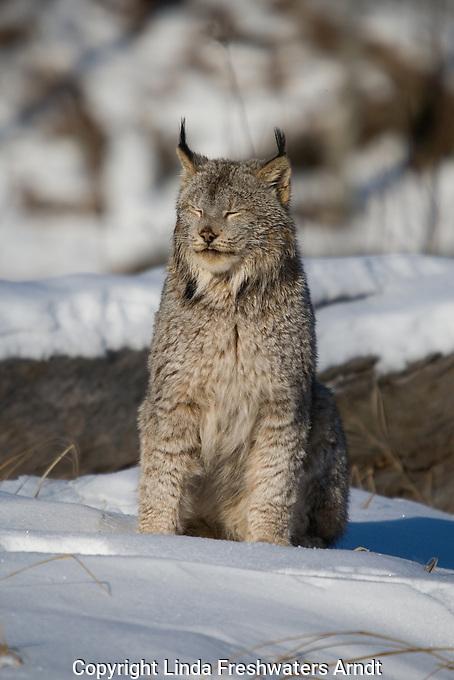 Canada lynx (Lynx canadensis) with his eyes closed