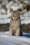 Canada lynx (Lynx canadensis) with his eyes closed