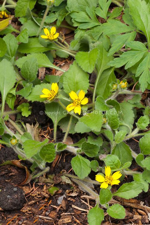 Chrysogonum virginianum groundcover in yellow flower