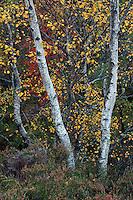 Birch trees in autumn in oakwoods, Ballater, Aberdeenshire