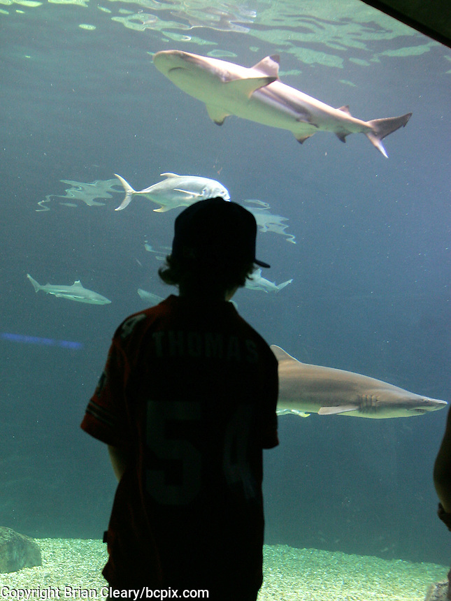 A young boy watches  sharks swim past in a tank at the Florida Aquarium in Tampa , Florida, July 2005.  (Photo by Brian Cleary)