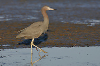 Little Blue Heron - Egretta caerulea
