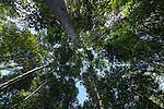 Rainforest canopy looking up.