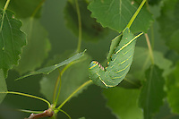 Pappelschwärmer, Raupe frisst an Zitterpappel, Pappel-Schwärmer, Laothoe populi, Sphinx populi, Poplar Hawk-moth, Poplar Hawkmoth, caterpillar, Le sphinx du peuplier, Schwärmer, Sphingidae, Hawkmoths, hawk moths, sphinx moths
