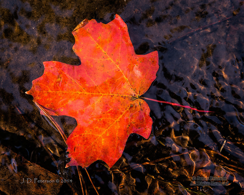 Maple Leaf in West Fork