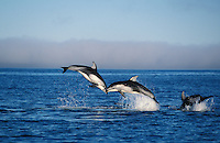 nb96. Pacific White-sided Dolphins (Lagenorhynchus obliquidens) leaping. British Columbia, Canada, Pacific Ocean..Photo Copyright © Brandon Cole.  All rights reserved worldwide.  www.brandoncole.com..This photo is NOT free. It is NOT in the public domain...Rights to reproduction of photograph granted only upon payment of invoice in full.  Any use whatsoever prior to such payment will be considered an infringement of copyright...Brandon Cole.Marine Photography.http://www.brandoncole.com.email: brandoncole@msn.com.4917 N. Boeing Rd..Spokane Valley, WA 99206   USA..tel: 509-535-3489