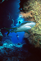 This silvertip shark, Carcharhinus albimarginatus, was added to this diver (MR) and reef scene that was photographed off Ant Atoll near Pohnpei, Micronesia.