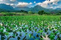 Taro field. and mountains around Hanalei National Wildlife Refuge. Hanalei, Kauai, Hawaii