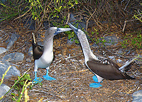 The male blue-footed booby makes a high-piping whistle noise in the Galapagos Islands of Equador.