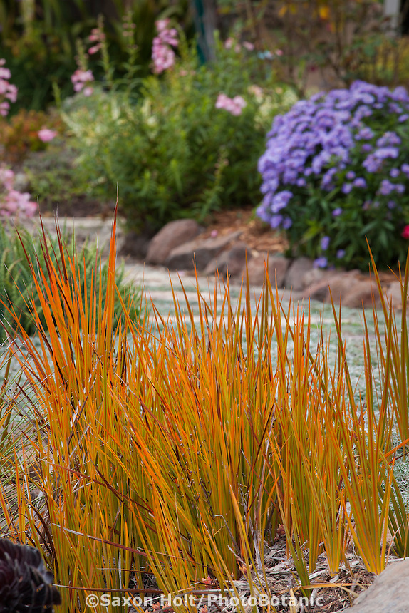 Libertia peregrinans, orange foliage perennial in California garden