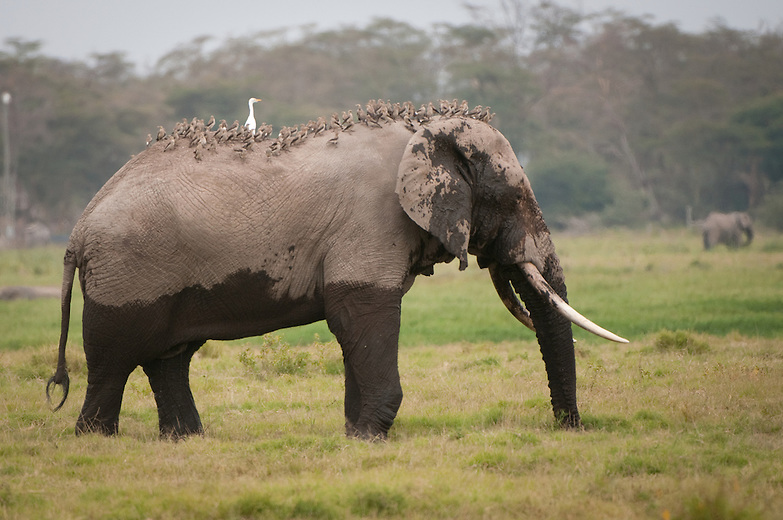 As elephants are on their daily chores of eating they disturb insects sheltering in the grassland vegetation. Insect eating birds take advantage of this ability to get to their food more easily. Egrets and starlings will follow elephants in flocks and will be seen perched on the backs of elephant.