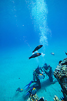 Divers checking gear while saddle wrasse and Hawaiian sergeant major fish look on, Electric Beach, West O'ahu