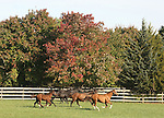 Mares and foals gallop in the field at Bright View Farm in Chesterfield, New Jersey.  Photo By Bill Denver/EQUI-PHOTO.