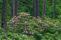 Western rhododendron and Douglas firs<br />