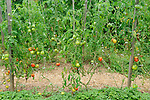 Beech Hill Farm, College of the Atlantic. Tomatoes