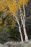 Aspen tree in fall, Grand Teton National Park, Wyoming