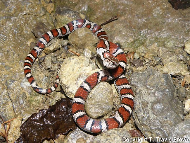 Eastern Milk Snake Juvenile (Lampropeltis triangulum)