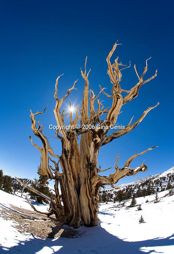 Ancient bristlecone pine with a sunburst peeking through its limbs