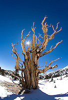 Ancient bristlecone pine with a sunburst peeking through its limbs