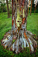 Painted Eucalyptus tree. Keahua Arboretum. Kauai, Hawaii
