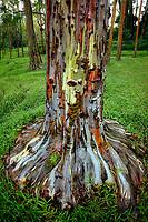 Painted Eucalyptus tree. Keahua Arboretum. Kauai, Hawaii