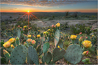 In the heart of the Texas HIll Country, Enchanted Rock State Park rises from the rolling hills of green. Late spring each year, the prickly pear cactus bloom, showing amazing shades of orange and yellow. This photograph from Texas captures their beauty at sunset looking across the rugged landscape.