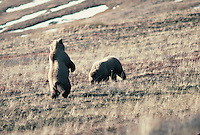Grizzly Bears seen in Alaska's Denali National Park and Preserv.