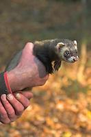 Frettchen, Iltisfarbenes Frettchen, Iltis-Frettchen,  Mustela putorius f. furo, ferret, domestic polecat