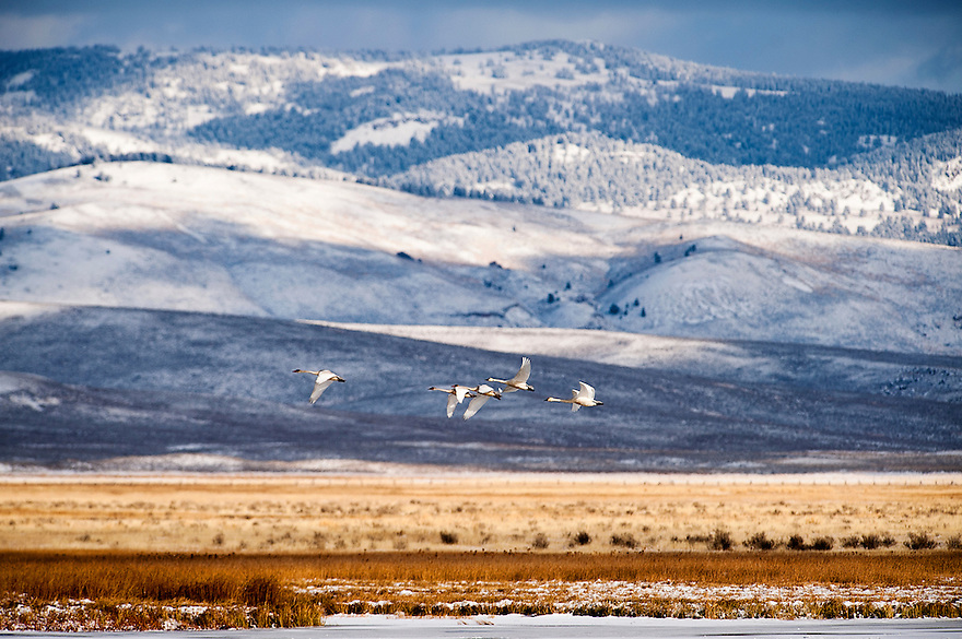 A flock of trumpeter swans flies over Upper Red Rock Lake with the Gravelly Mountain Range in the distance at Montana's Red Rock Lakes National Wildlife Refuge.
