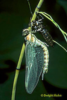 1O11-011a  Black-tipped Mosaic Darner Dragonfly emerging from nymph skin - inflating wings - Aeshna tuberculifera
