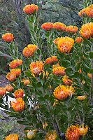 Leucospermum praecox 'Patricia' in California summer-dry garden; design Jo O'Connell