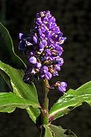Flores. Mikan ( Dichorisandra thyrsiflora). SP. Foto de Manuel Lourenço.