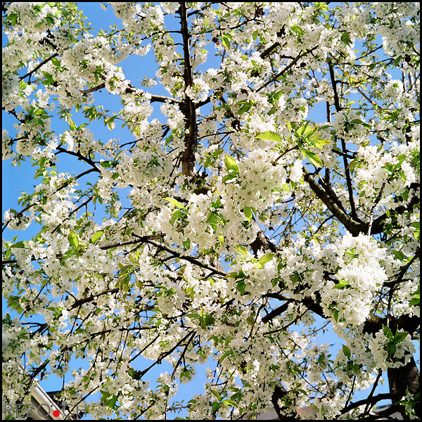 FW01469 / Illustration printemps..Cerisier en fleurs. Geneve, avril 2007.