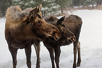 A mother moose and one of her calves cast a sideways glance in the backyard during a winter day in Kenai, Alaska.