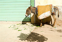 Sefrou at lunch time: a donkey soaks up the late winter sunshine while munching on grass, Sefrou, Morocco.
