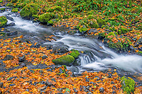 ORCG_D210 - USA, Oregon, Columbia River Gorge National Scenic Area, Gorton Creek in autumn with fallen leaves of bigleaf maple, mossy rocks and ferns.