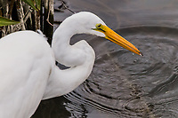 After a quick stab into the water a Great egret pulls back with a tiny fish in its bill.