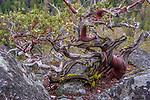 USA, California, Yosemite National Park, manzanita