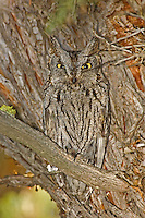 Western Screech Owl resting in juniper tree, Steens Mountain Wilderness, Oregon