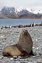 Antarctic Fur Seal bull (Arctocephalus gazelle) Salisbury Plane, South Georgia. November.
