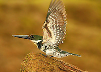 Female green kingfisher with wings spread