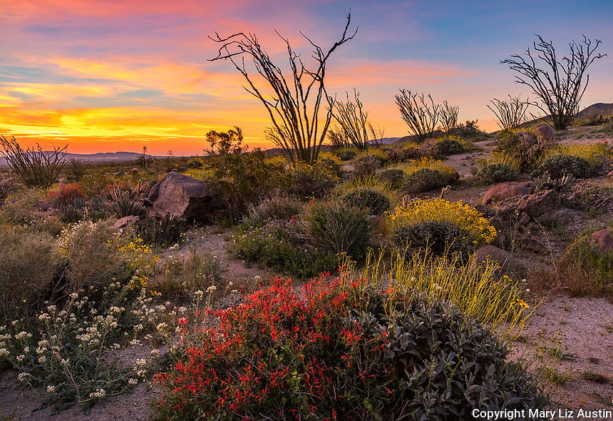 Anza-Borrego Desert State Park, CA: Brittlebush (Encelia farinosa), chuparosa (beloperone californica) and brown-eyed primrose (Camissonia claviformis) flowering in Glorieta Canyon with ocotillo spines against a colorful sunrise sky
