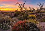Anza-Borrego Desert State Park, CA: Brittlebush (Encelia farinosa), chuparosa (beloperone californica) and brown-eyed primrose (Camissonia claviformis) flowering in Glorieta Canyon with ocotillo spines against a colorful sunrise sky
