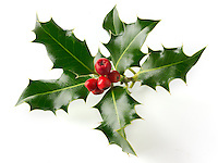 Fresh Holly leaves with red berries against a white background - Ilex aquifolium