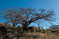 Wiliwili trees on Maui against a clear blue sky.