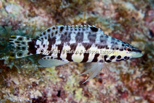 Serranus tigrinus, Harlequin bass, Florida Keys