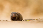 Common Dwarf Mongoose (Helogale parvula), Kruger National Park, South Africa