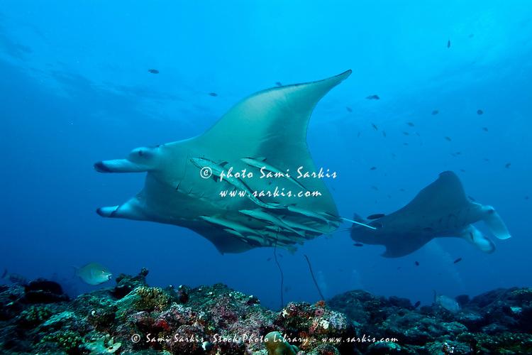 Two giant manta rays (manta birostris) around Manta Point, North Male Atoll, Maldives.