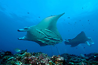 Two giant manta rays (manta birostris) around Manta Point, North Male Atoll, Maldives.