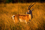 A Grant's gazelle buck searches for movement in the grass in Serengeti National park, Tanzania.